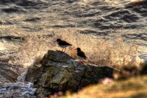 Picture of Oystercatchers on Flat Holm Island